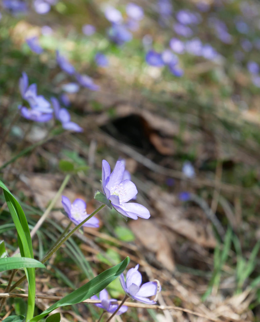 Brunnenkopf Frühling Blumen