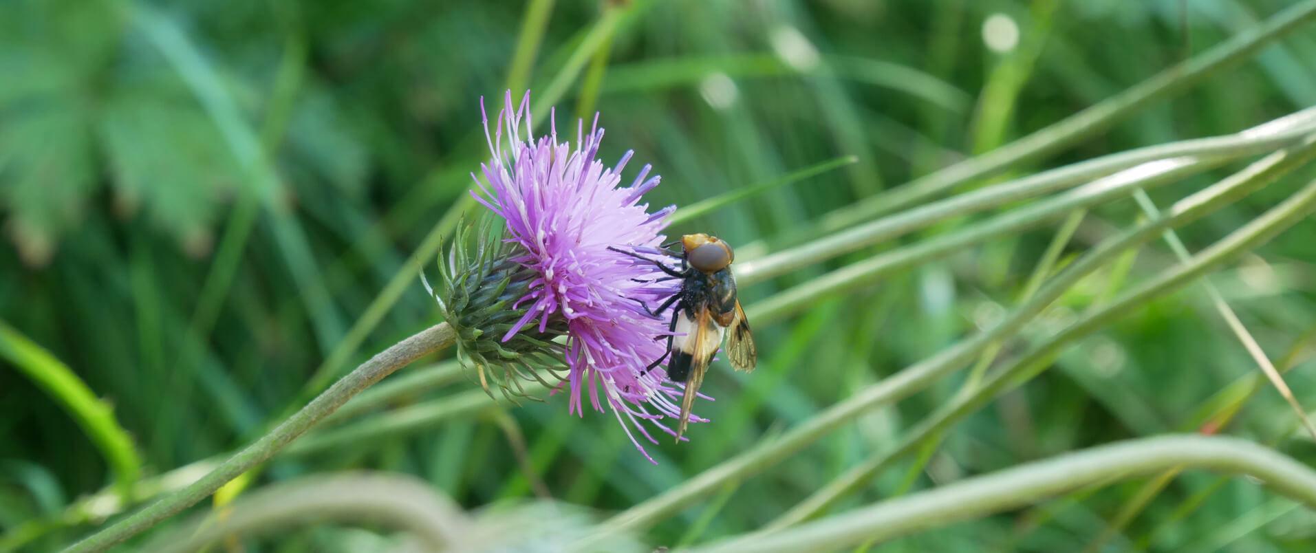 Alpenblumen Insekten