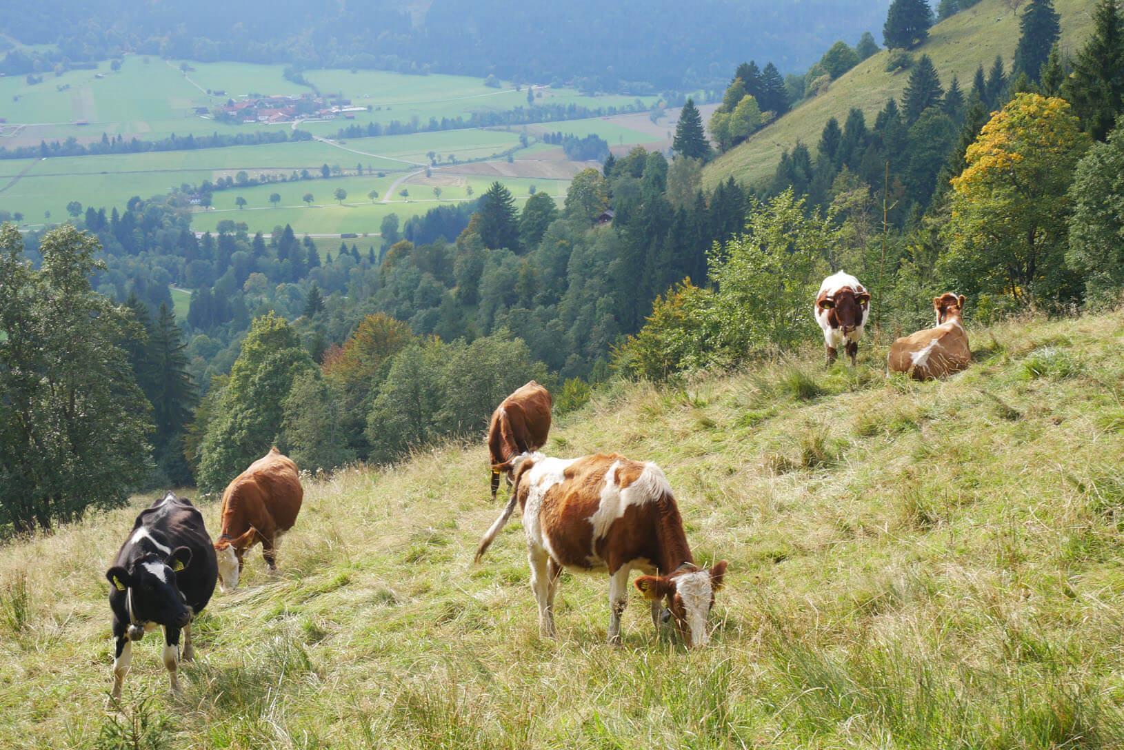 Hörnle Kühe