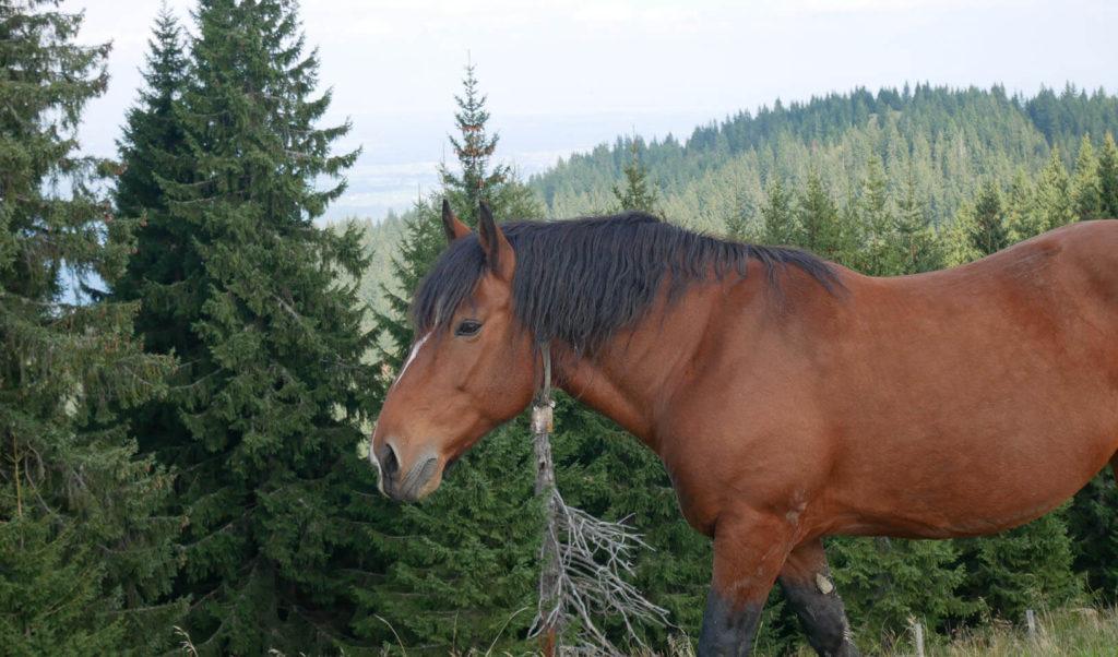 Hörnle Pferde