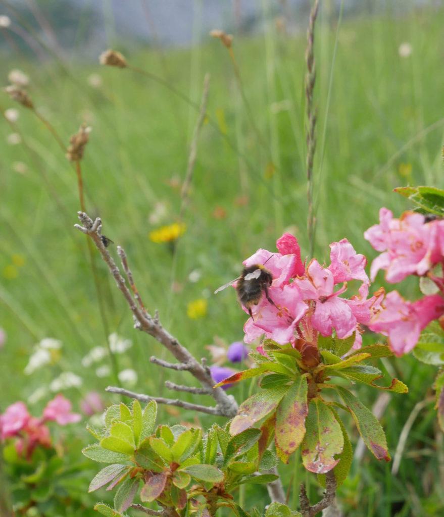 Lengenfelder Biene Almblumen