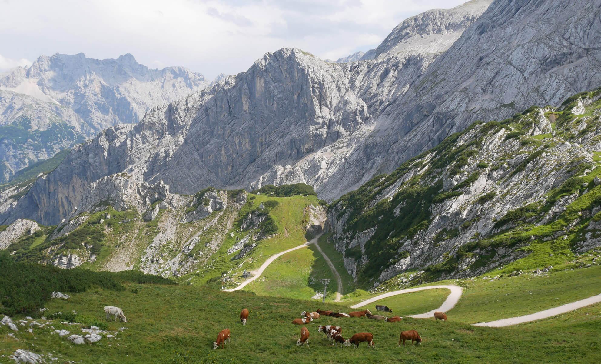 Osterfelderkopf Kühe Sommer
