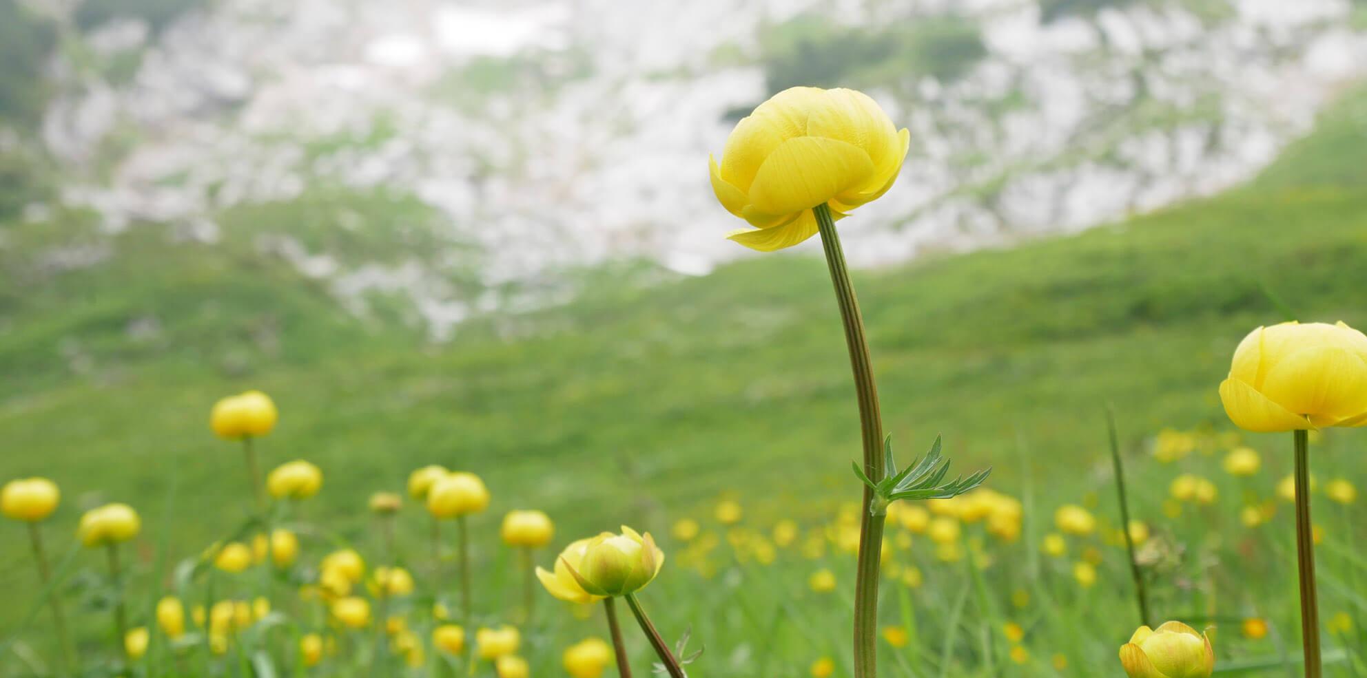 Trollblumen Osterfelderkopf