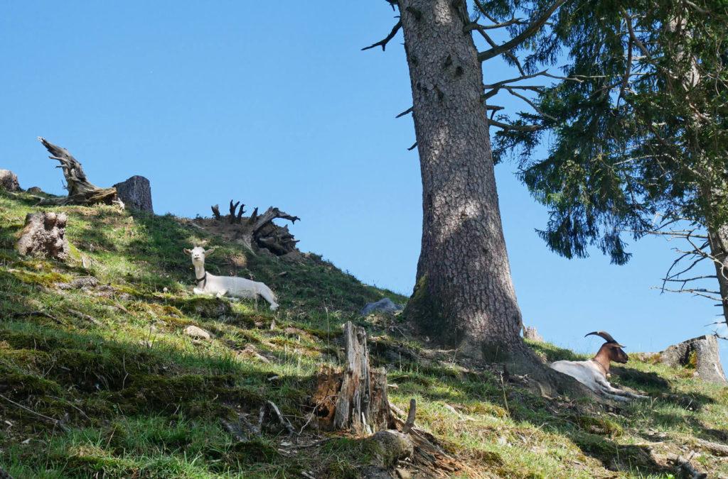 Aufacker Oberammergau Ziegen